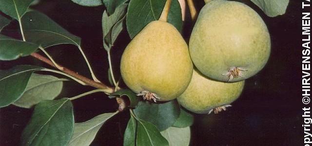 Elokuun päärynä, II (III), syys