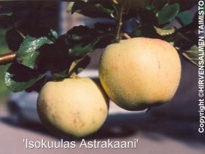 Astrakaani iso kuulas v2
