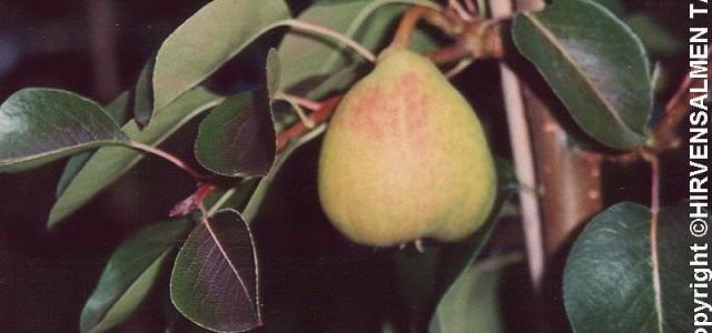 Aunen päärynä, III, syys