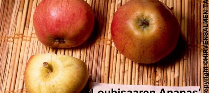 Louhisaaren ananas, II (III), kesä