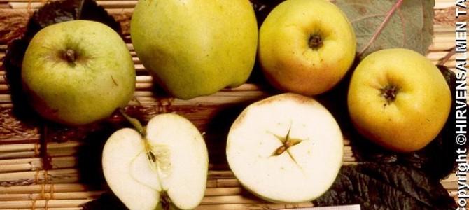 Oton omena, V, syys
